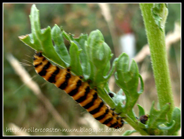 Caterpillar of Cinnabar Moth on Ragwort