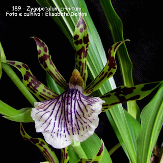 Zygopetalum crinitum  do blogdabeteorquideas