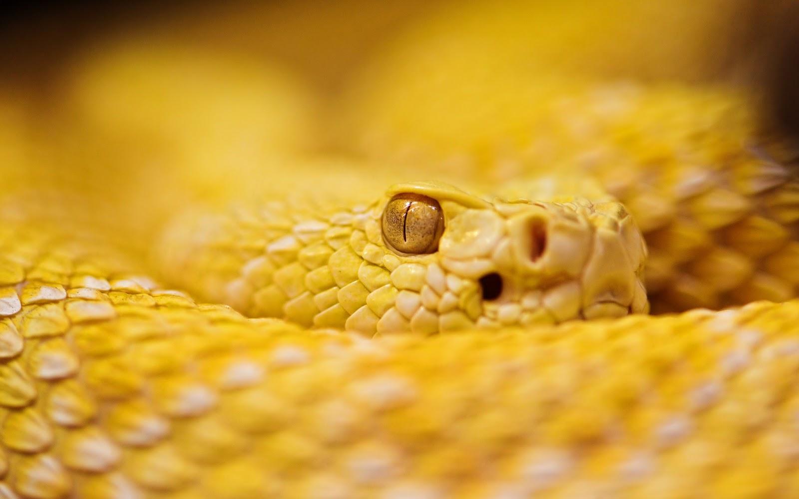 download yellow snake wallpaper