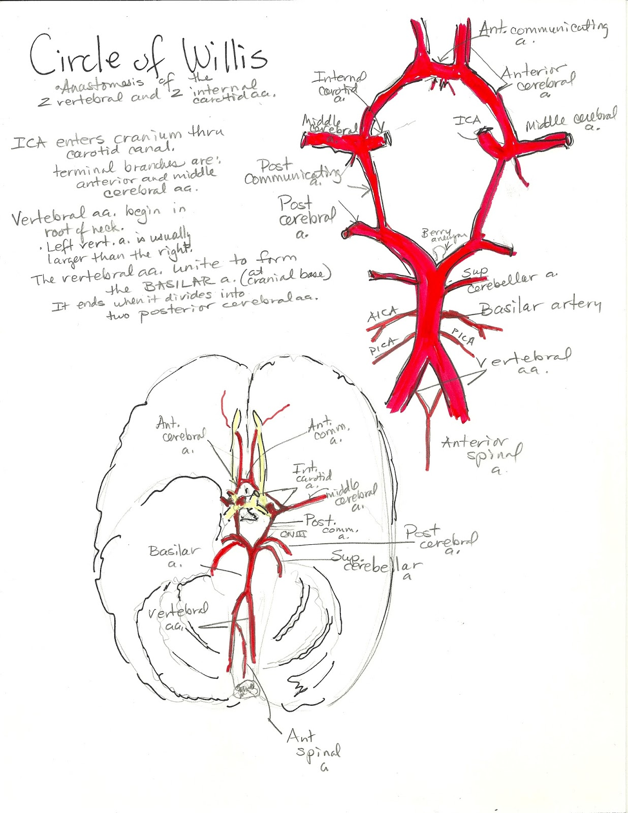 circle of willis unlabeled