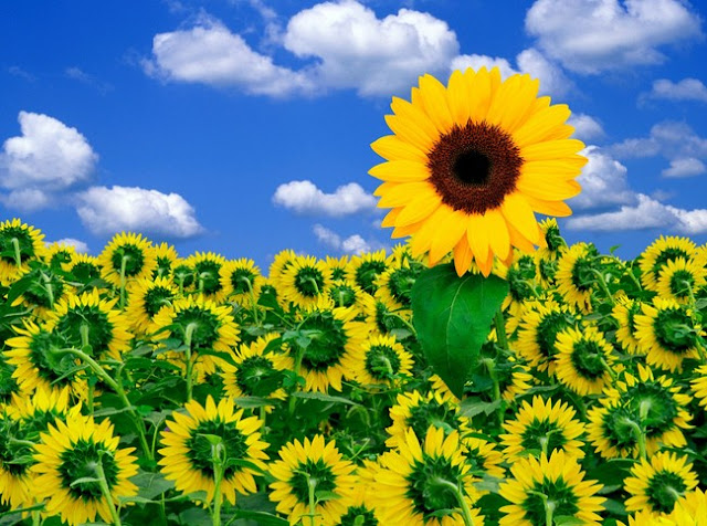 Sunflower With Beautiful Nature