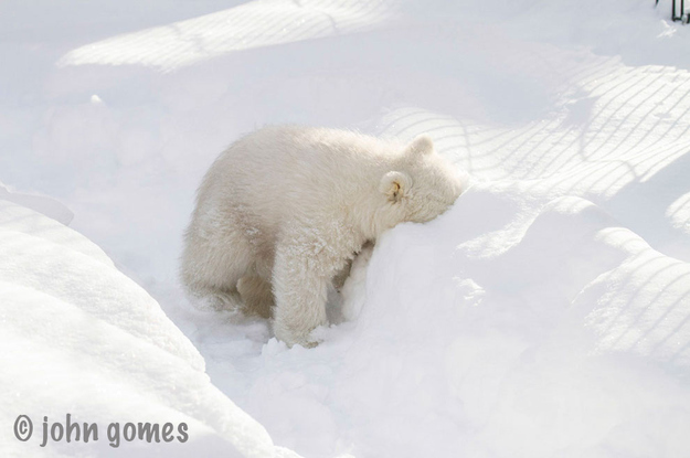 Beautiful Baby Polar Bear