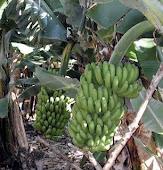 De Spaanse banaan