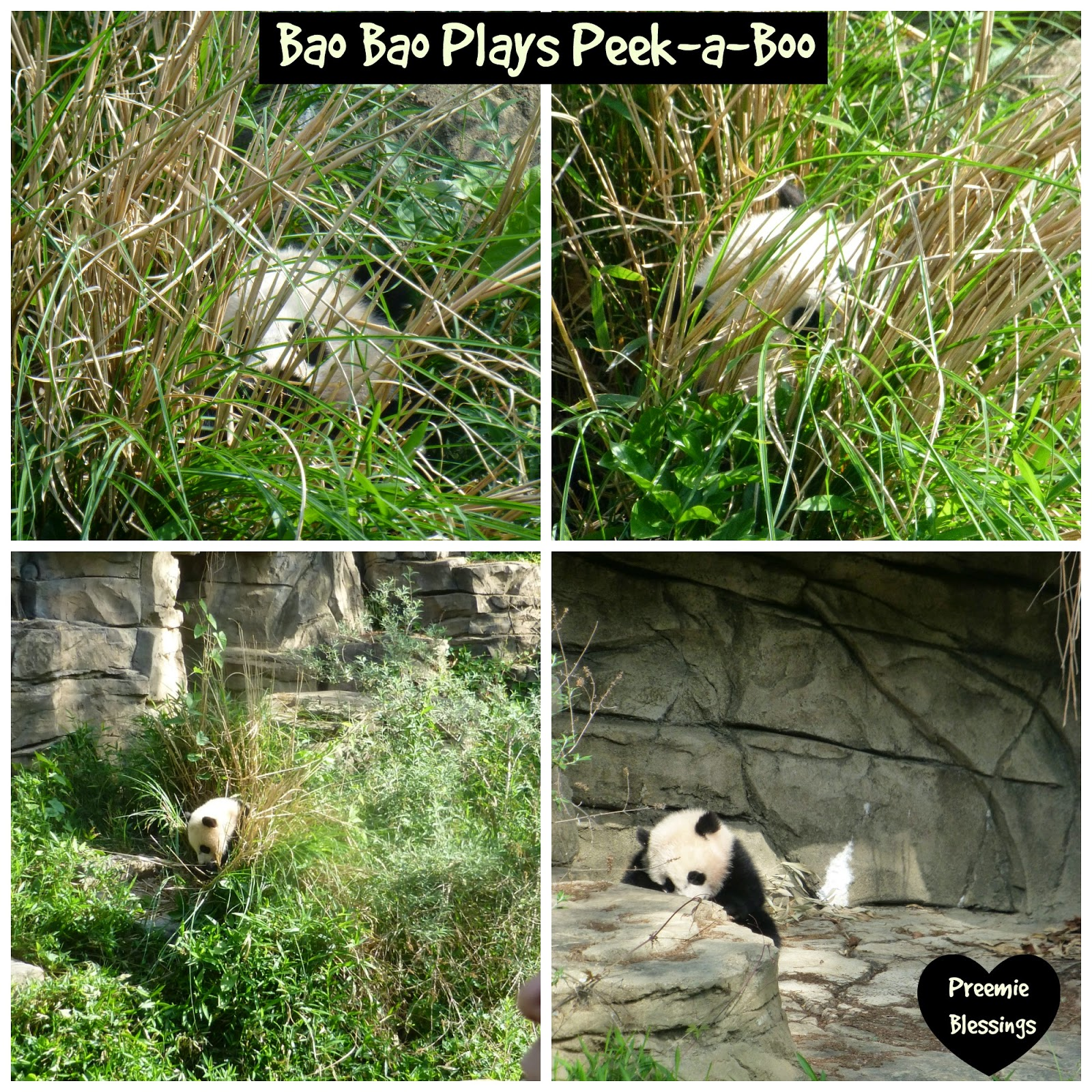 Bao Bao, panda, National Zoo, hide-and-seek