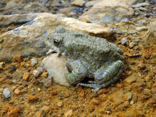 лягушка живет в радоновых источниках