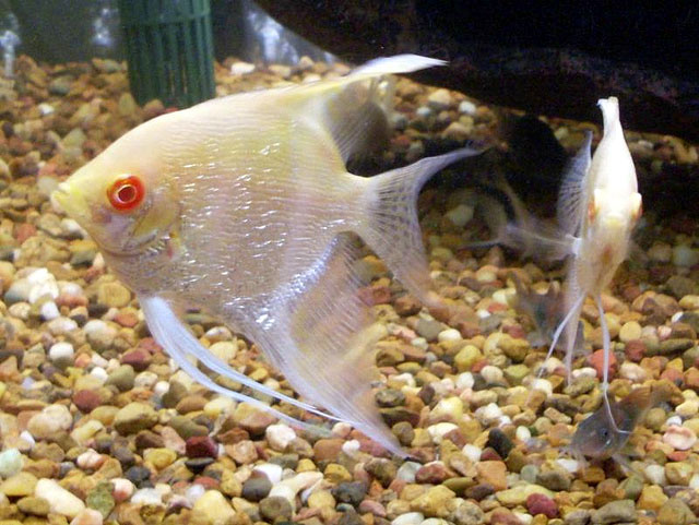 Albino Pearscale Angelfish Red Eye Stock Image