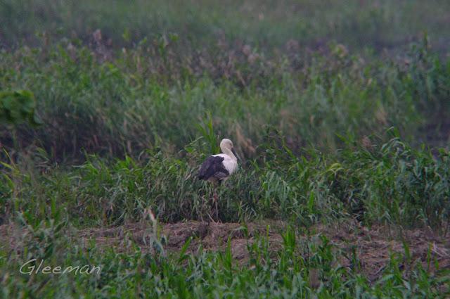 送子鳥(東方白鸛) 距離有點遠,可能有百來公尺左右吧。