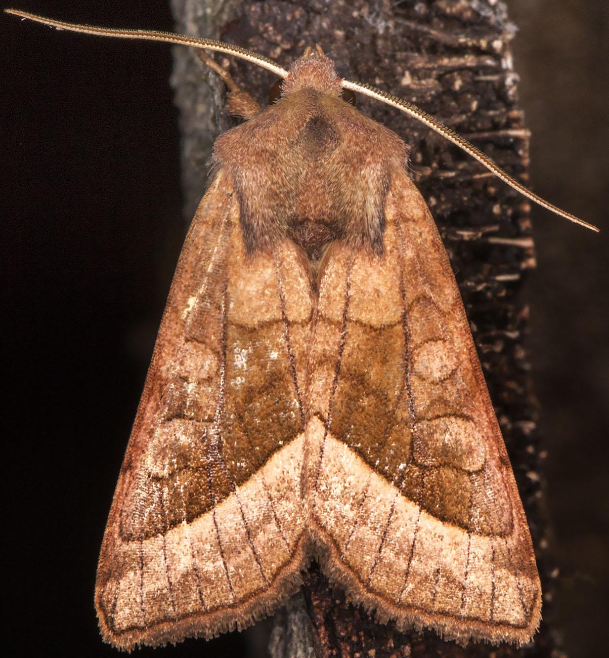 Rosy Rustic, Hydraecia micacea.  Noctuidae.  Hayes, 16 August 2014.