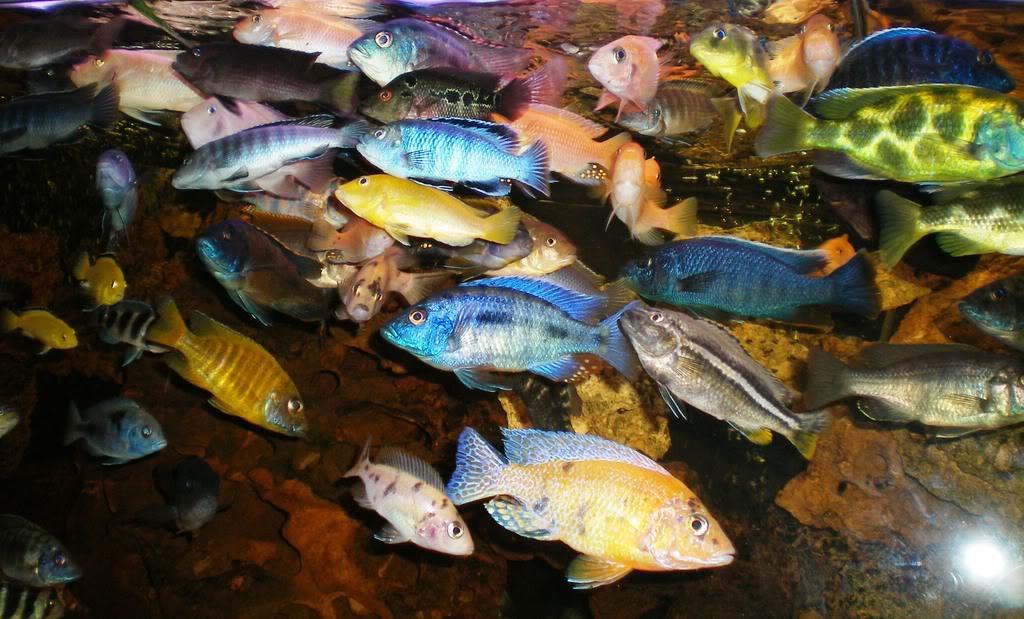 Acuarios de agua dulce gente c clidos africanos y for Peces de agua dulce para peceras