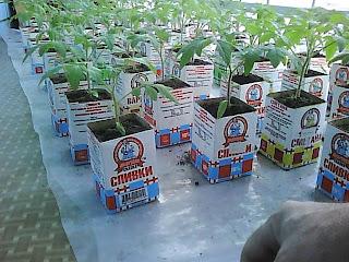 выращиваю рассаду помидоров 1