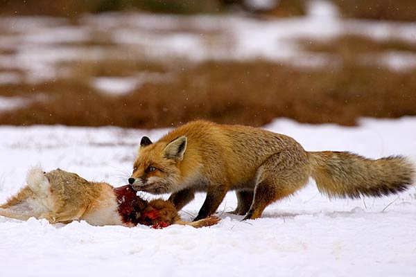 Red fox eating rabbit - photo#10