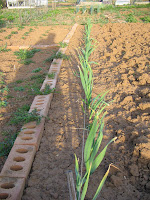 Autumn planted garlic looking healthy