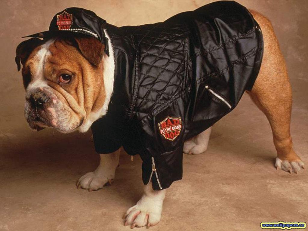 http://4.bp.blogspot.com/-FaIfj2MwJFI/Tlfz31OavCI/AAAAAAAADdw/FTf-gvSEG5s/s1600/Funny+fat+dogs+wallpaper+widescreen1.jpg