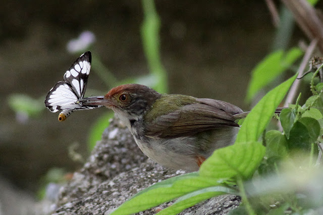 Tailor Bird with Butterfly