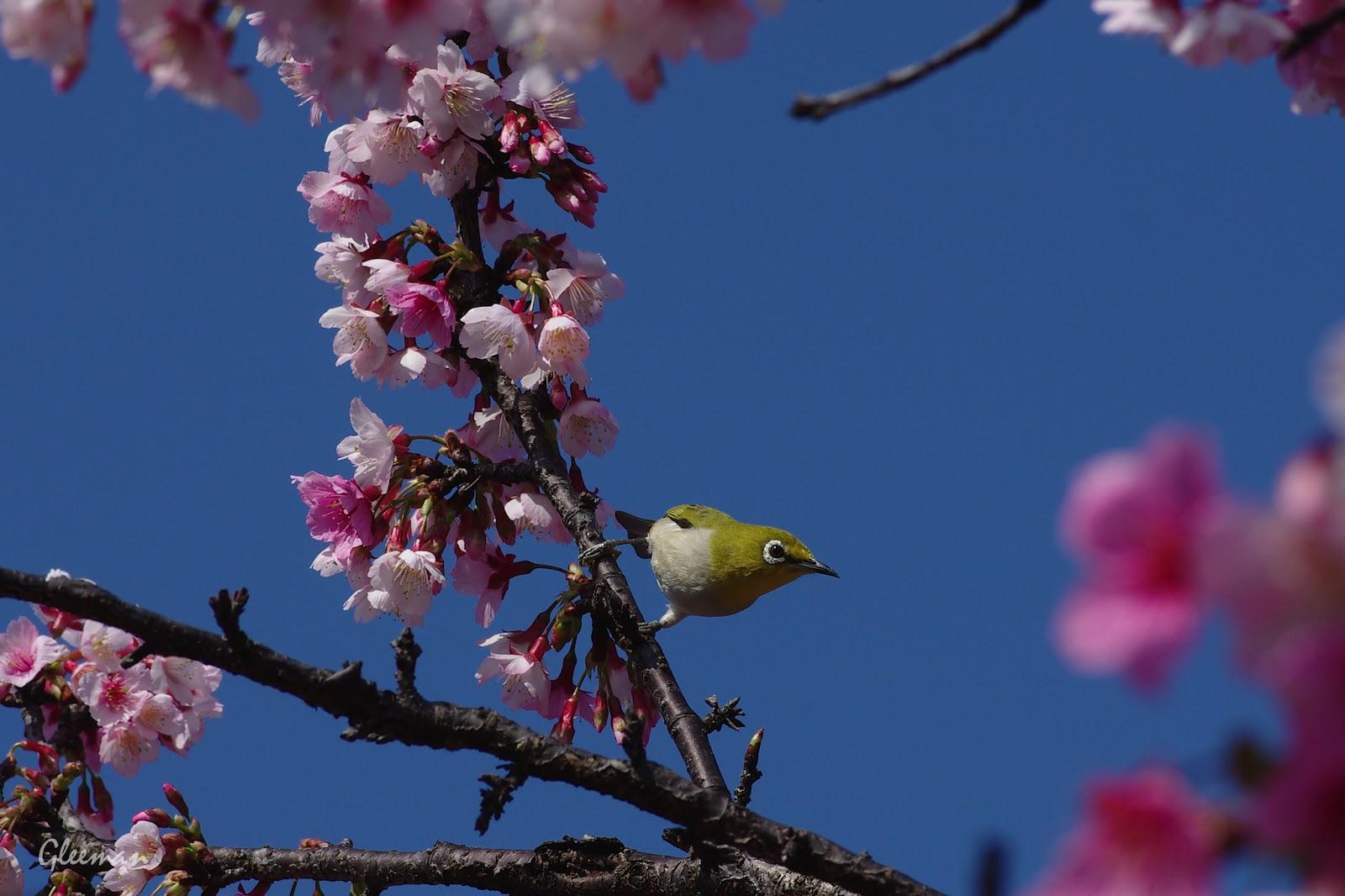 雞南山腳的美麗櫻花。綠繡眼。