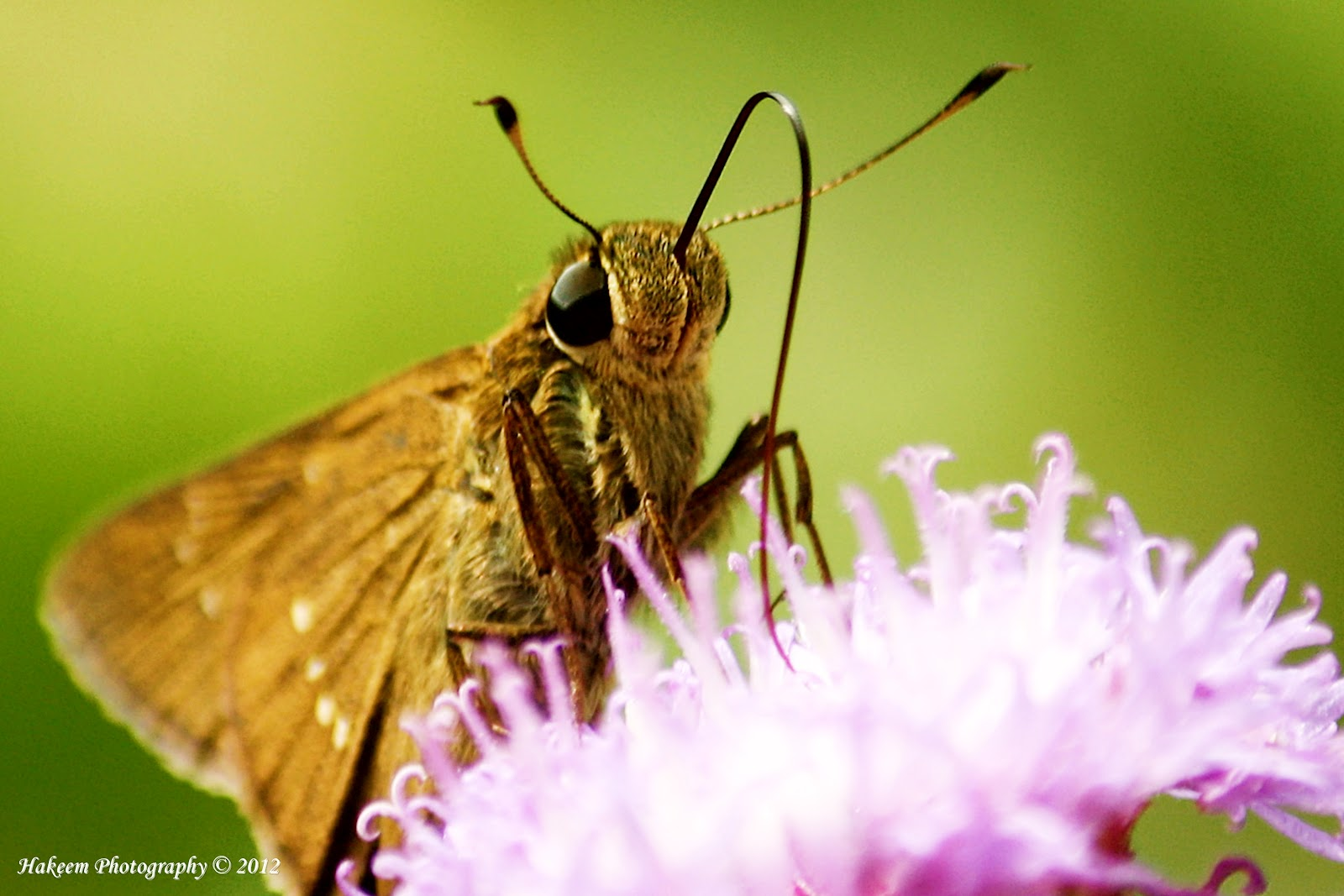 Skipper butterflies 2