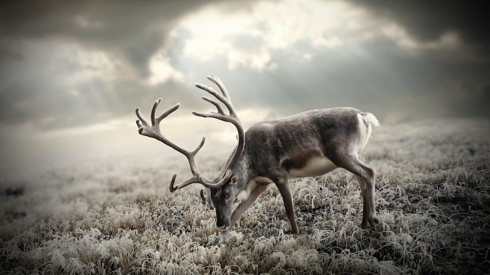Север елен в Тундра, HD Wallpaper