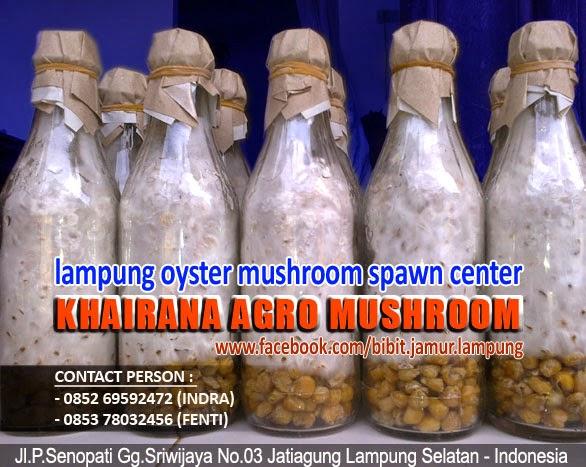 Jual Bibit Jamur Tiram Murah di Lampung Bengkulu Jambi Sumsel Palembang Padang Medan Aceh Prabumulih Linggau Batam Pagar Alam