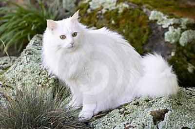 Foto Kucing Anggora 07