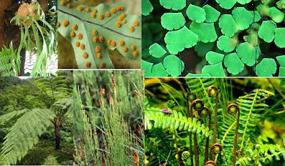 ciri ciri tumbuhan paku pteridophyta, contoh, klasifikasi, reproduksi