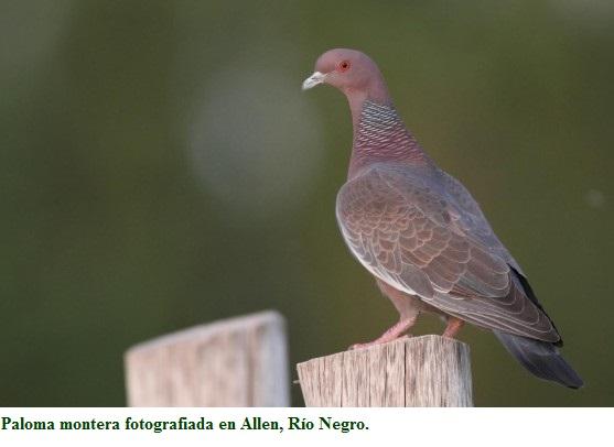 La paloma montera o paloma picazuró habita en la Patagonia Norte.