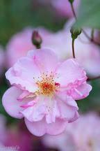 rose Louis Bleriot