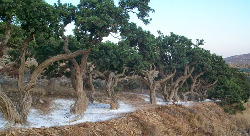 Mastic trees of Chios island