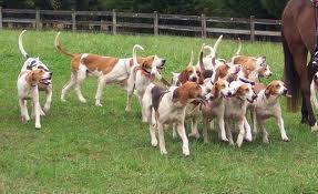 American Foxhound Breed Information   Informasi Kesehatan Terbaru ... American Foxhound Strains