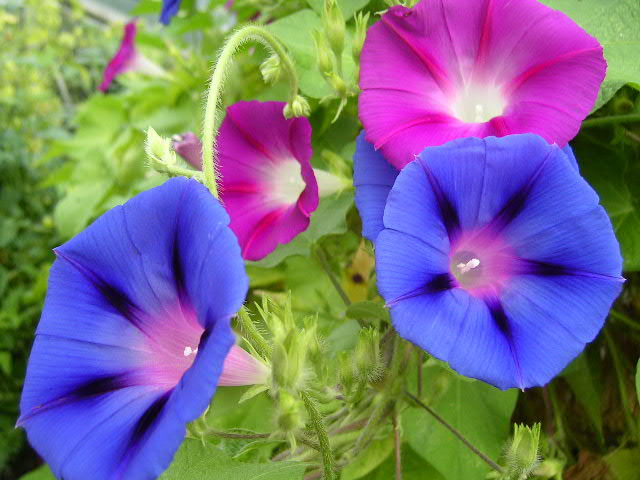 Flower Picture Morning Glory Flower