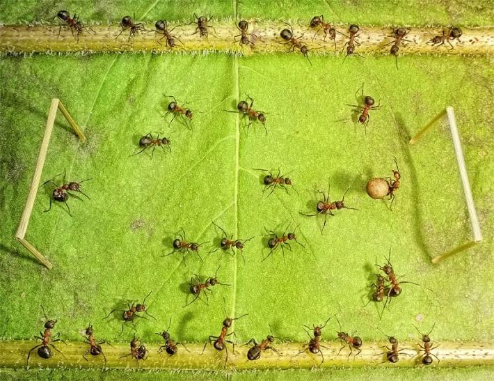 Imagem de Formigas  jogando bola