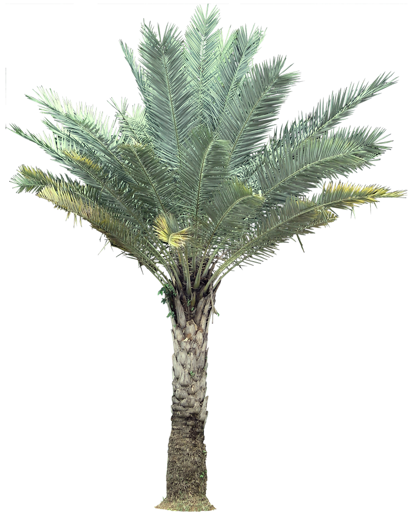 palm india date palm wild date palm sylvester date palm is native to