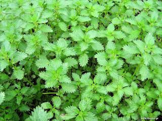 αυτοφυή φυτά