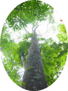 trunk and canopy of a mahogany tree
