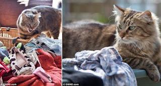 Kucing Jantan Pencuri Pakaian Dalam Wanita