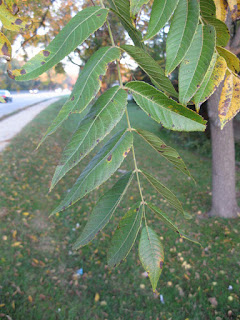 Black walnut tree leaves