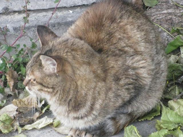 бездомная серая кошка