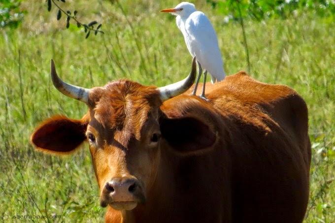 relationship between cattle egrets and livestock market