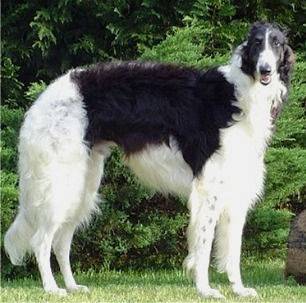 Flat Nosed Dog Breed http://dogsdogger.blogspot.com/2011/06/borzoi-dog-breed-information.html