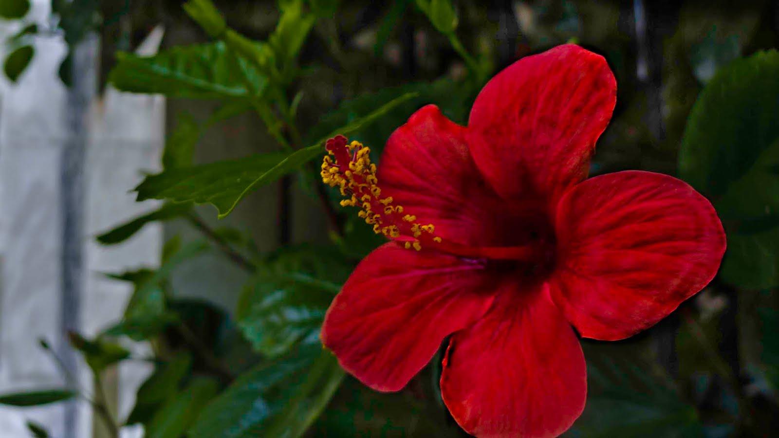 Agua que corre rosa china for Rosas chinas