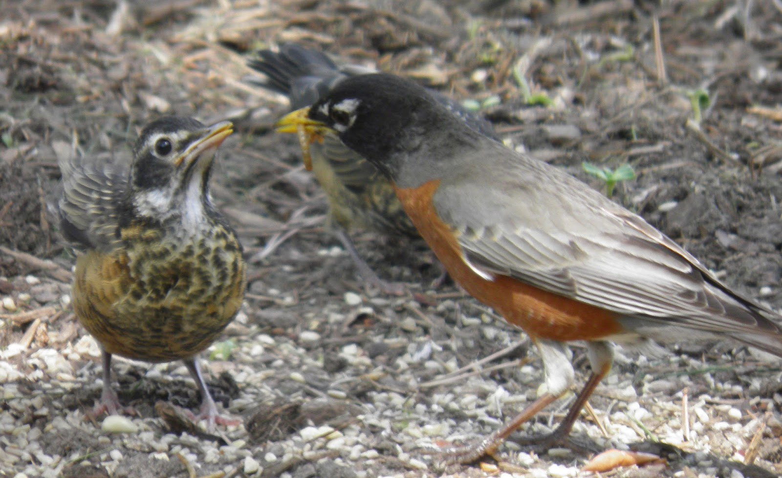 wild birds unlimited robins with white patches