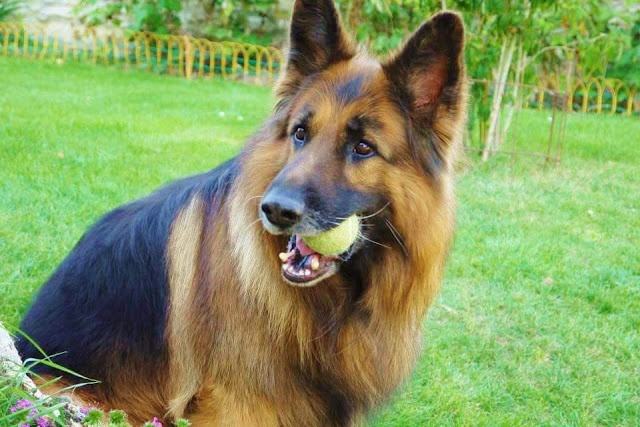 chien de garde maison