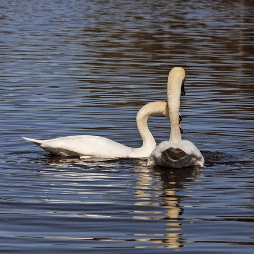 mute swans in mating display