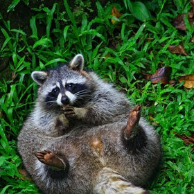 all funny cute cool and amazing animals funny raccoon images and
