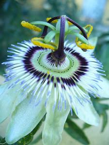 Flor mágica:  Pasionaria.