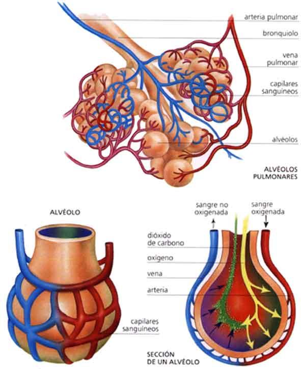 Capellanía y las Ciencias: Los alvéolos pulmonares