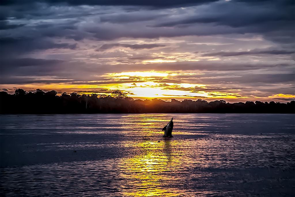 Salto del delfín rosado contrastado sobre el atardecer en el rio Amazonas