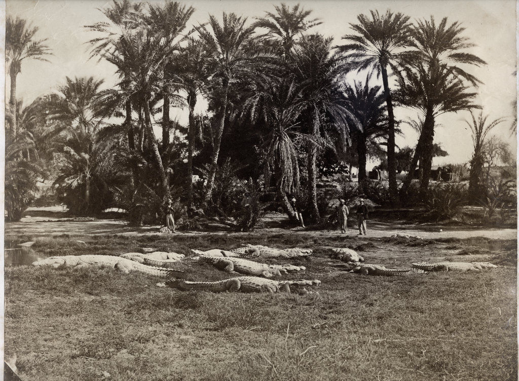 Sacred Alligators Basking in the Sun - India c1880's