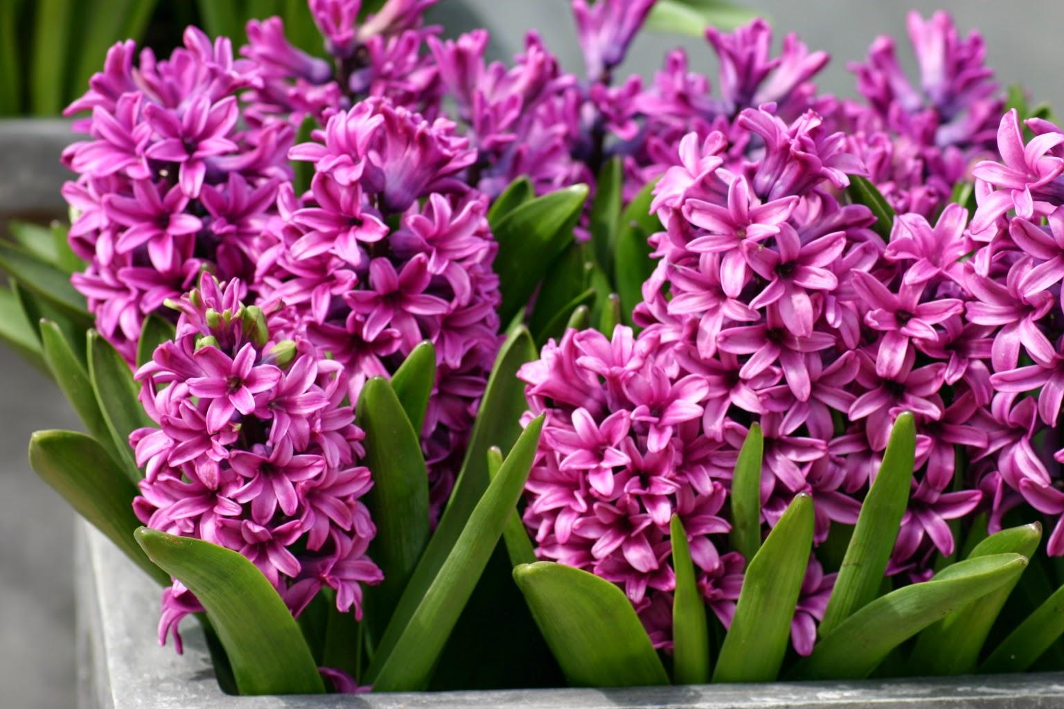 Зюмбюл - отглеждане и особености на растението
