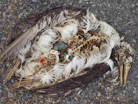Dead Albatross with stomach of plastic