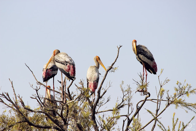 Painted Stork, Shashank Mittal Photography, Shashank Mittal, Photography, Shashank, Mittal